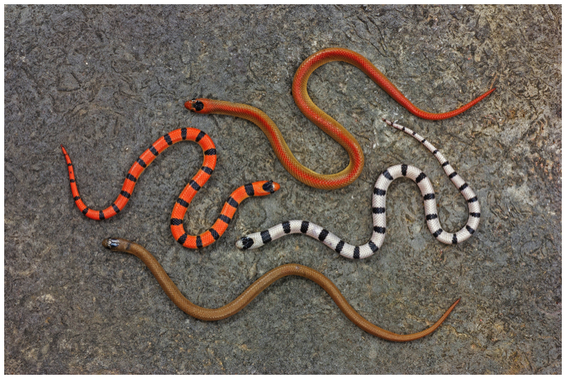 Four sympatric color morphs of Sonora semiannulata
