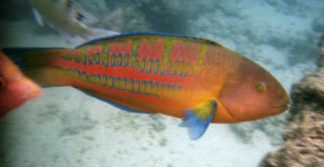 Thalassoma trilobatum male coloration christmas wrasse for Hawaiian fish names