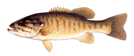 Sport fish of lake erie for Lake erie fish species