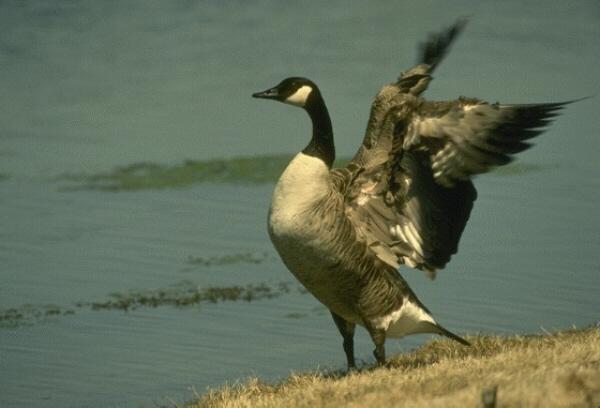 Дикая утка на берегу озера Отправить другу!  Птицы -2 Птицы Животные МИР ФОТО.